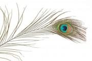 Zobrazit detail - Nádherné paví peří, délka 70 cm