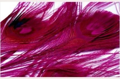 Paví peří v barvě fuchsia