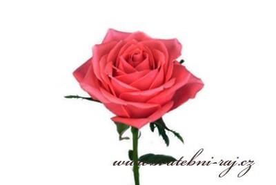 Růže živá