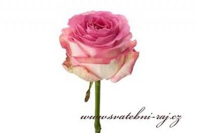 Živá růže