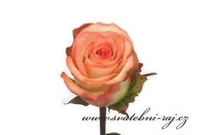 Růže Boheme