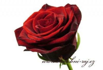 Červená růže