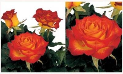Čerstvé růže