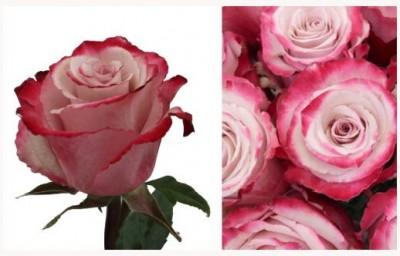 Svatební růže