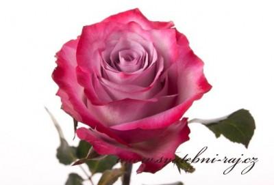 Řezaná růže