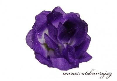 Taftová růže varbová