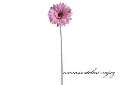 Gerbera fialovo-růžová