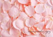 Zobrazit detail - Okvětní plátky světle růžové